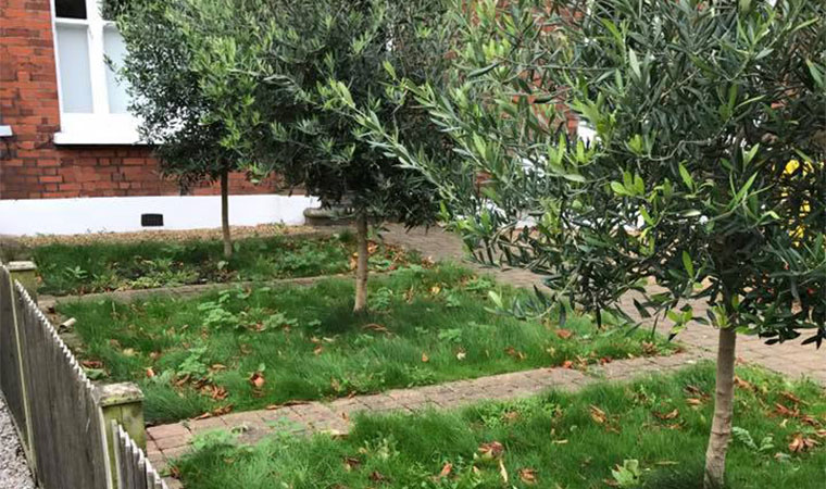 Front garden lawn with olive trees